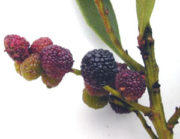 bayberry scent